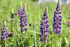 紫罗兰色羽扇豆 库存图片