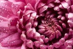 紫罗兰色翠菊背景 免版税库存图片