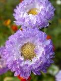 紫罗兰色翠菊 图库摄影