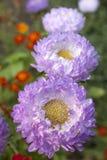 紫罗兰色翠菊 免版税库存照片
