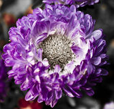 紫罗兰色翠菊 库存图片