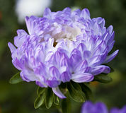 紫罗兰色翠菊 免版税图库摄影
