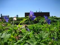 紫罗兰色花前景大厦 库存图片