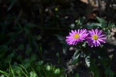 紫罗兰色花在庭院里 免版税库存图片