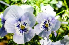 紫罗兰色花在庭院里 图库摄影