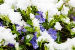 紫罗兰色花在雪报道的春天 免版税库存图片