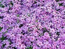 紫罗兰色花地毯 库存照片