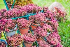 紫罗兰色花墙壁在罐的 庭院概念 免版税图库摄影