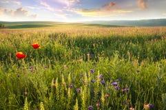 紫罗兰色花春天草甸。 库存图片