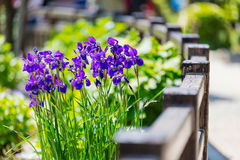 紫罗兰色花树和木篱芭在阳光的庭院里 免版税库存照片
