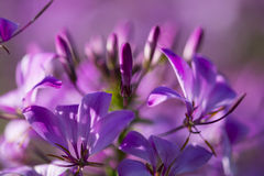 紫罗兰色花的宏指令 库存图片