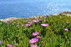 紫罗兰色花,番杏科,在海岸的非洲黑人无花果 免版税库存照片