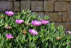 紫罗兰色花,番杏科,非洲黑人无花果,在石墙前面 图库摄影