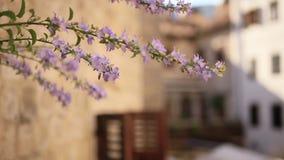 紫罗兰色花从墙壁增长在科托尔 花和树 股票录像