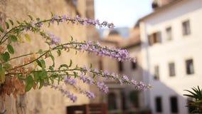 紫罗兰色花从墙壁增长在科托尔 花和树 影视素材