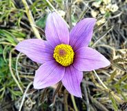 紫罗兰色花 免版税图库摄影