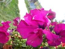 紫罗兰色花 库存图片