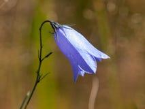 紫罗兰色草甸风铃草,亦称风轮草,有绿色bokeh背景 浅深度的域 免版税图库摄影