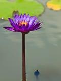 lilly紫罗兰色水在池塘 图库摄影