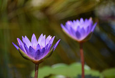 紫罗兰色荷花 免版税库存图片