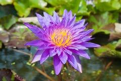 紫罗兰色莲花在盐水湖 库存图片