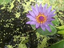 紫罗兰色莲花在阳光下 免版税库存照片