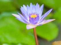 紫罗兰色莲花开花 库存照片