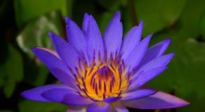 紫罗兰色莲花有绿色莲花垫背景 免版税库存照片