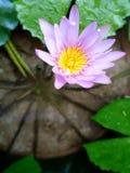 紫罗兰色莲花 免版税图库摄影