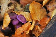 紫罗兰色蘑菇 免版税图库摄影
