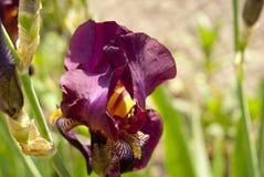 紫罗兰色虹膜03 库存照片