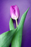 紫罗兰色郁金香。 库存图片