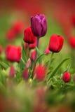 紫罗兰色郁金香绽放,红色美丽的郁金香在与阳光,花卉背景,庭院场面,荷兰,荷兰的春天调遣 免版税库存图片