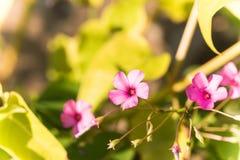 紫罗兰色酢浆草 库存图片