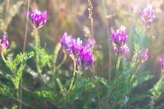 紫罗兰色野花在阳光下 库存照片