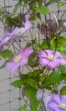 紫罗兰色铁线莲属早晨 免版税库存照片