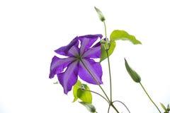 紫罗兰色铁线莲属 免版税库存照片