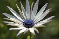 紫罗兰色雏菊 库存图片