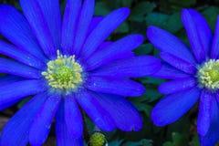 紫罗兰色雏菊 免版税图库摄影