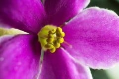 紫罗兰色非洲堇宏指令 免版税库存图片