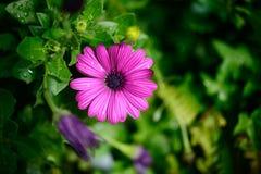 紫罗兰色非洲雏菊 库存照片
