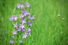 紫罗兰色风铃草在绿色草甸 免版税图库摄影