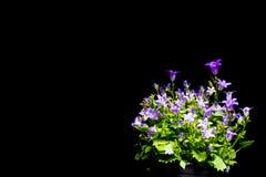 紫罗兰色风铃草有黑背景 免版税库存图片