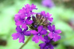 紫罗兰色马鞭草属植物杂种群 免版税库存照片