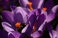 紫罗兰色,桔子和第一只土蜂 免版税库存图片