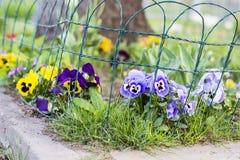 紫罗兰色,黄色和蓝色紫罗兰在春天从事园艺 库存照片