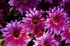 紫罗兰色,紫色菊花 库存图片
