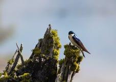 紫罗兰色绿的燕子,黄石国家公园 库存照片