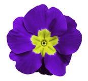 紫罗兰色紫罗兰开花白色与裁减路线的被隔绝的背景 特写镜头 没有影子 对设计 免版税图库摄影