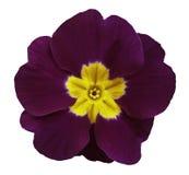 紫罗兰色紫罗兰开花白色与裁减路线的被隔绝的背景 特写镜头 没有影子 对设计 免版税库存照片